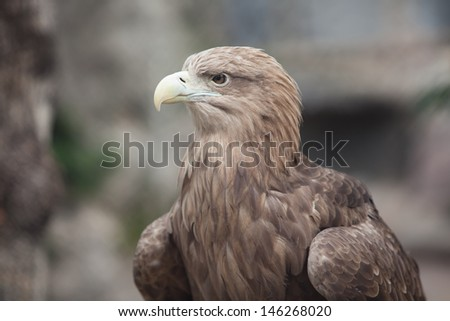 portrait of an brown eagle - stock photo