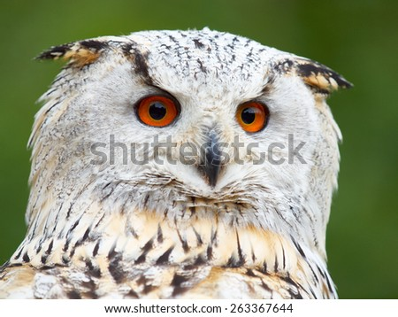 Portrait of an Eagle Owl before a green background - stock photo