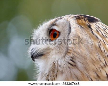 Portrait of an Eagle Owl staring sideways - stock photo