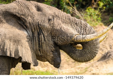 Portrait of an eating elephant - stock photo