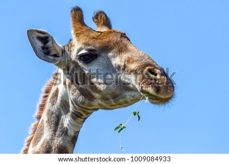 Portrait of an eating giraffe in Pilanesberg National Park in South Africa
