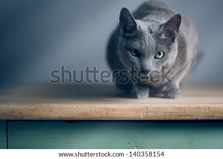 Portrait of an elegant slender Russian Blue Cat - stock photo