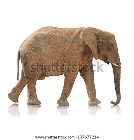 Portrait Of An Elephant Bull On White Background - stock photo