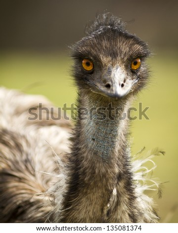 Portrait of an Emu at a Zoo - stock photo