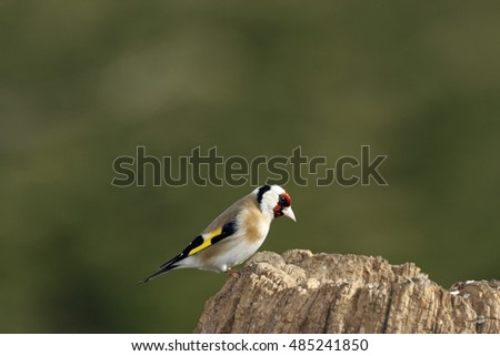 Portrait of an European Goldfinch (Carduelis carduelis)