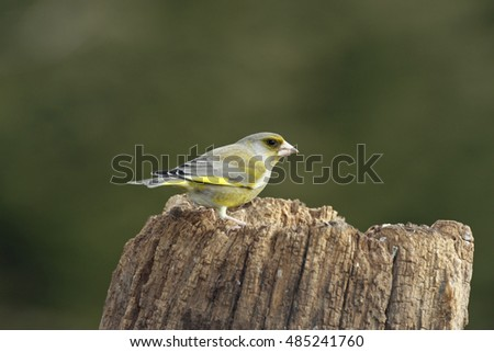 Portrait of an European Greenfinch (Carduelis chloris)
