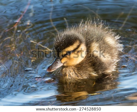 Portrait of an extremely cute mallard duckling, exploring the reed at the shore of a park lake in Freiburg, Germany - stock photo