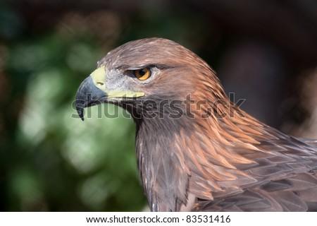 Portrait of an golden eagle - (Aquila chrysaetos) - stock photo