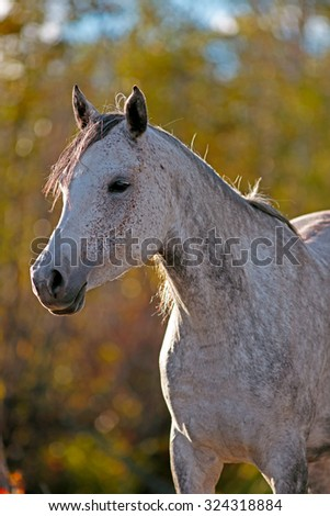 Portrait of an grey dapple Arabian Mare at pasture in late afternoon sunlight. - stock photo