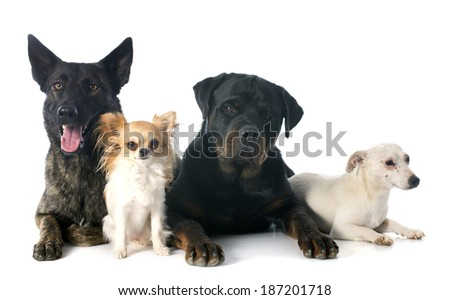 portrait of an holland shepherd, chihuahua, rottweiler and jack russel terrier in a studio