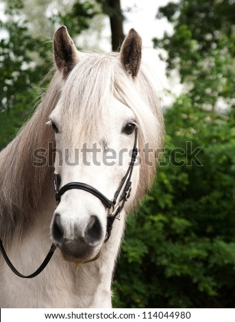 Portrait of an Icelandic horse - stock photo