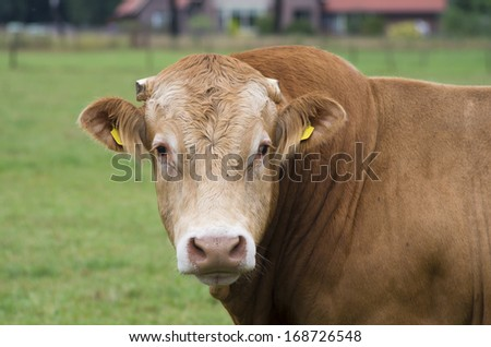 portrait of an impressive limousine bull in a meadow - stock photo