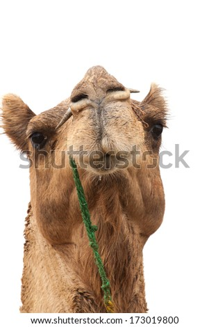 portrait of an indian dromedary head before a white background, desert Thar, India - stock photo