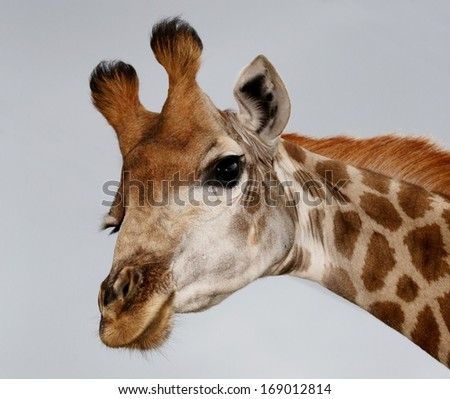 Portrait of an inquisitive giraffe from Africa isolated on white - stock photo