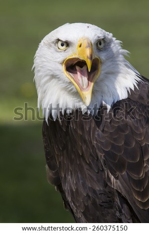 portrait of an long-legged eagle buzzard - stock photo