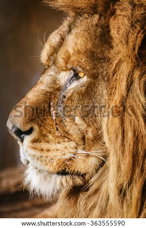 Portrait of an Old Lion