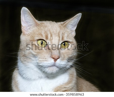 Portrait of an orange and white tabby cat on a charcoal grey background.