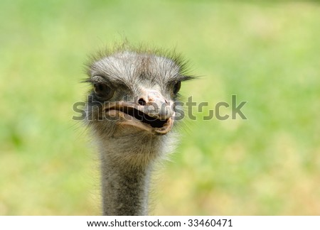 Portrait of an ostrich on a light background