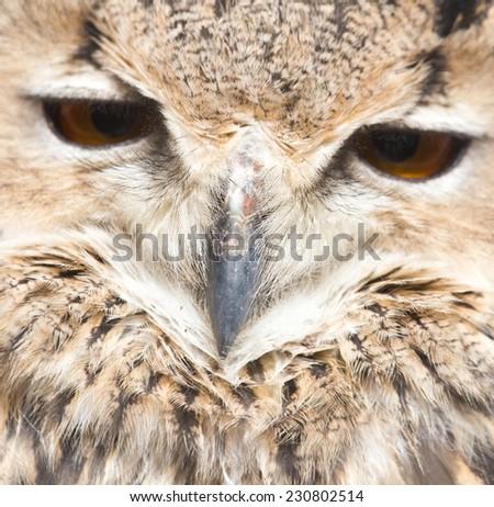 portrait of an owl - stock photo