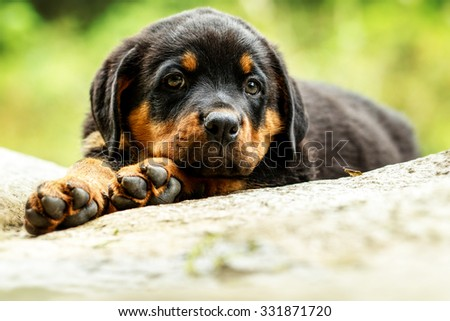 Portrait Of An Young Rottweiler Pup Two Months Old - stock photo