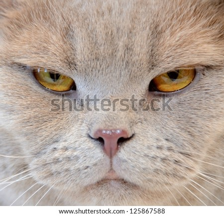Portrait of angry cat close-up - stock photo