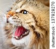 Portrait of angry hissing Siberian cat showing teeth - stock photo