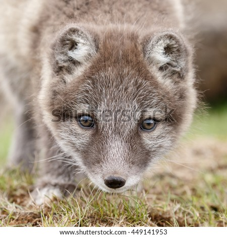 Portrait of Arctic Fox cub of 6 weeks old in nature
