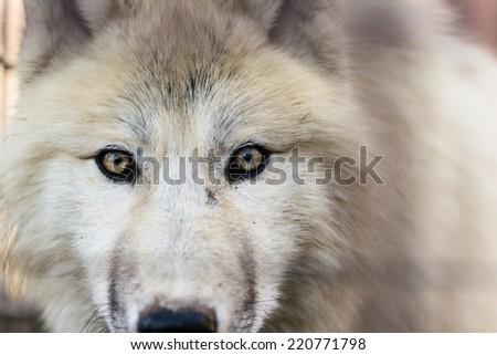 Portrait of Arctic wolf (Canis lupus arctos) - stock photo