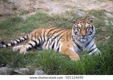 Portrait of atiger lying on the grass.