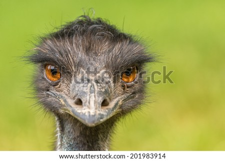 Portrait of Australian Emu (Dromaius novaehollandiae) - stock photo