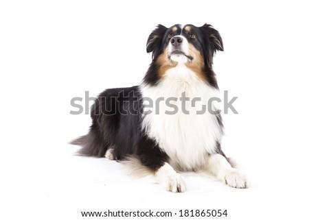 Portrait of australian shepherd - stock photo