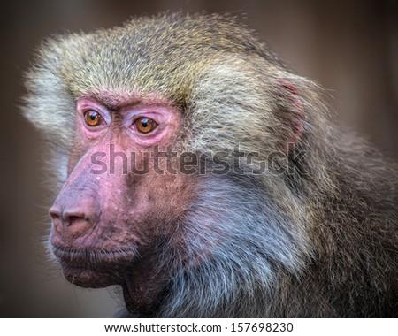 portrait of baboon monkey - stock photo
