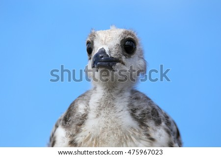 Portrait of baby Swallow-tailed Gull (Larus furcatus) on Genovesa island in Galapagos National Park, Ecuador