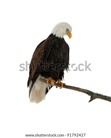 Portrait of Bald eagle  perched on branch .Haliaeetus leucocephalus washingtoniensis.