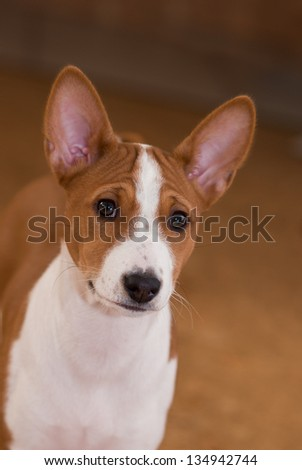 Portrait of  Basenji puppy (3.5 month old).