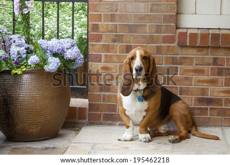 Portrait of basset hound and pot of flowers. - stock photo