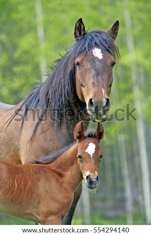 Portrait of Bay Arabian Mare with Foal standing together in a meadow