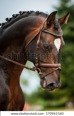 Portrait of bay horse in dressage competition - stock photo