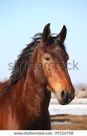 Portrait of bay horse in the spring - stock photo