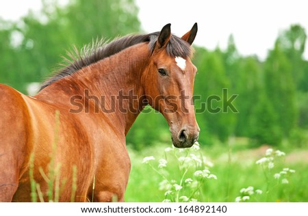 Portrait of bay horse looking back  - stock photo