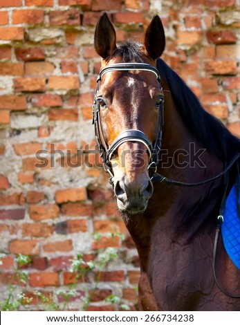 Portrait of bay horse on a background of red brick wall - stock photo