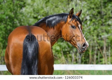 Portrait of bay stallion of Ukrainian riding breed - stock photo
