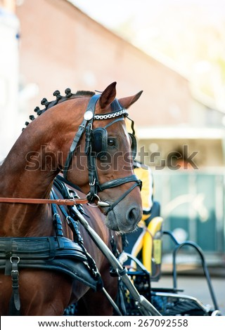 Portrait of bay trotter horse in race equipment on hippodrome - stock photo