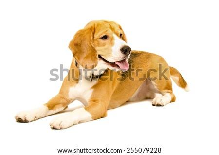 Portrait of beagle dog lying isolated on white background - stock photo
