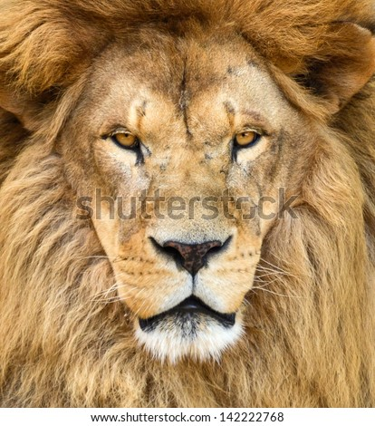 Portrait of beautiful African lion - stock photo