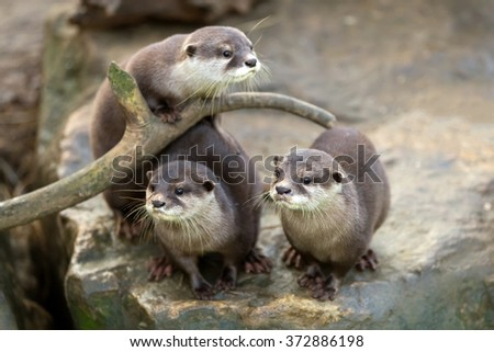 portrait of beautiful and playful river otter, wildlife Czech republic - stock photo