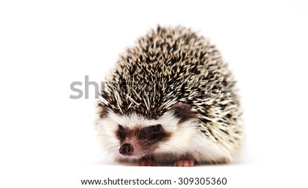 portrait of beautiful and pretty african pygmy hedgehog boy color algerian black pinto possible snowflake