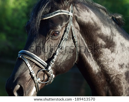 Portrait of  beautiful black breed horse in motion. close up