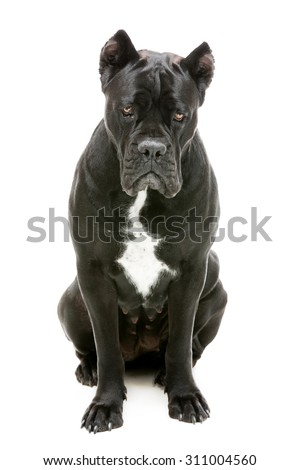 Portrait of beautiful black Cane Corso dog with sad expression on its face. Sitting pose. Isolated over white background. - stock photo