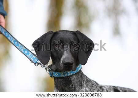 portrait of beautiful black-gray hound dog with on a leash outside - stock photo